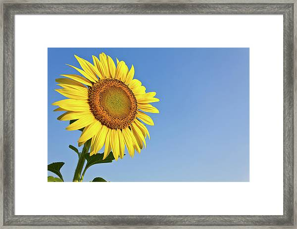 Blooming Sunflower In The Blue Sky Background Framed Print