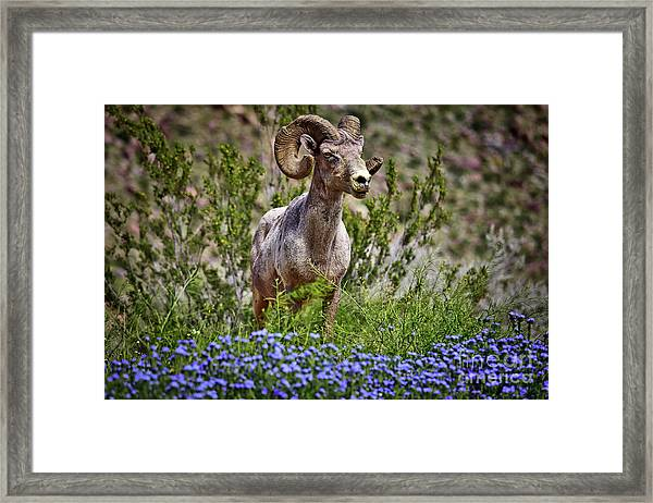 Blooms And Bighorn In Anza Borrego Desert State Park  Framed Print