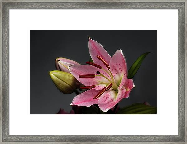 Blossoming Pink Lily Flower On Dark Background Framed Print