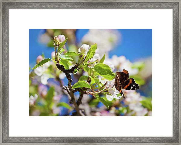 Blossoms And Butterfly Framed Print