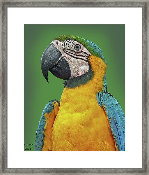 Blue-and-yellow Macaw Framed Print