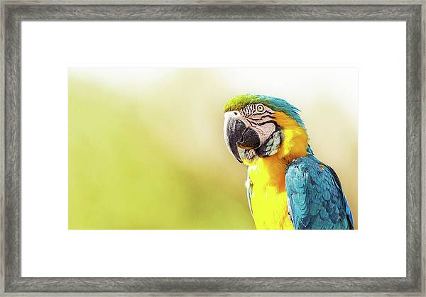 Blue And Yellow Macaw With Copy Space Framed Print