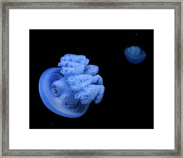 Blue Australian Jellyfish Framed Print