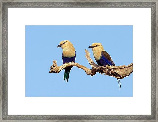 Blue-bellied Rollers On Branch  Framed Print