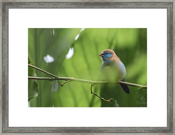 Blue Bird Chirping Framed Print