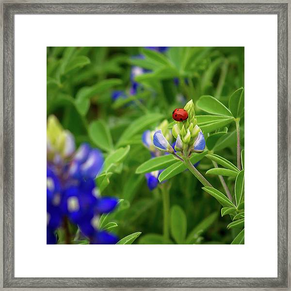 Texas Blue Bonnet And Ladybug Framed Print