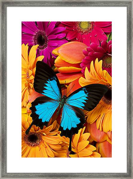Blue Butterfly On Brightly Colored Flowers Framed Print