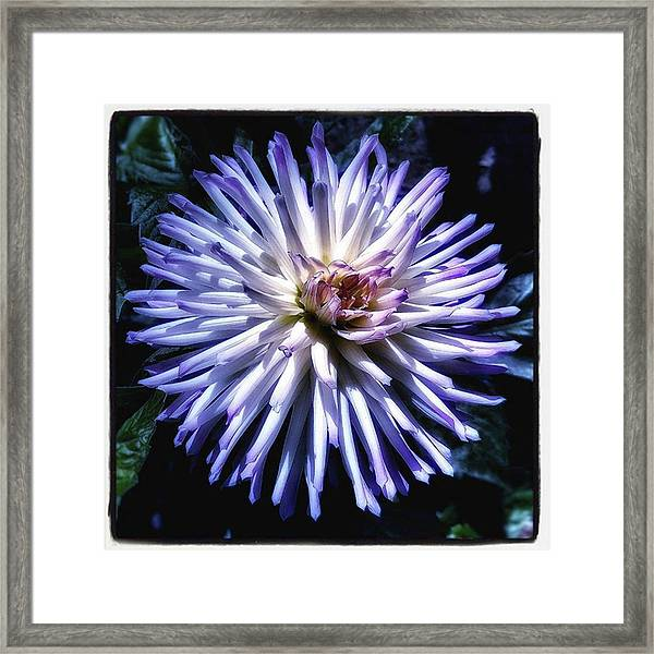 Framed Print featuring the photograph Blue Dahlia. Like A Winking  Star In by Mr Photojimsf