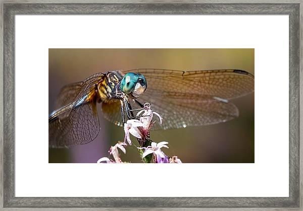 Blue Dasher Dragonfly Resting Framed Print