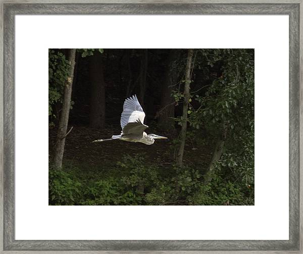 Blue Heron In Flight Framed Print
