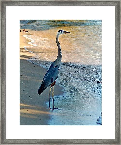Blue Heron On The Beach Close Up Framed Print
