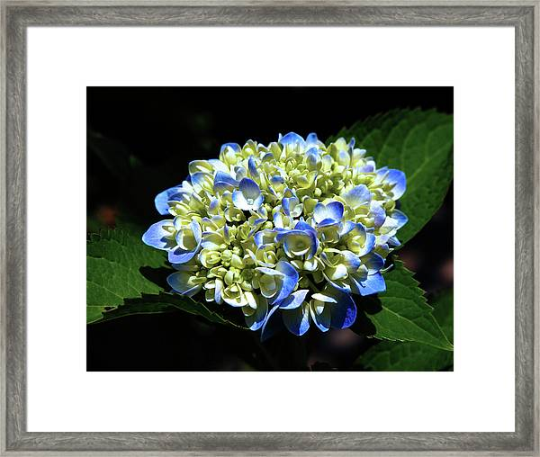 Blue Hydrangea Onstage 2620 H_2 Framed Print