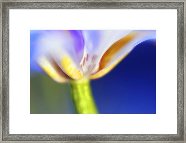Blue Iris 2 Framed Print by DRK Studios