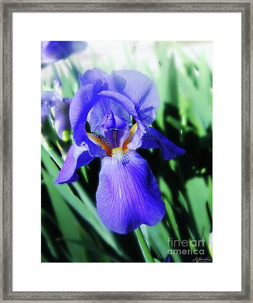 Blue Iris 2 Framed Print