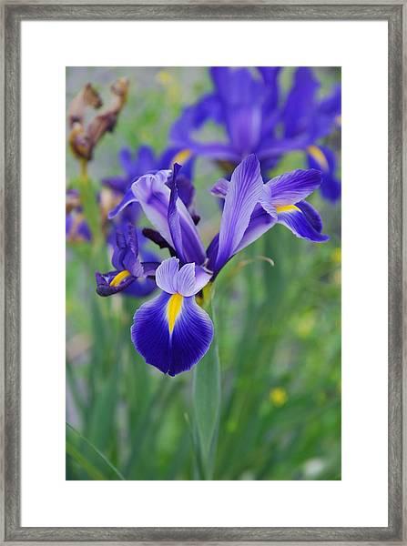 Blue Iris Flower Framed Print