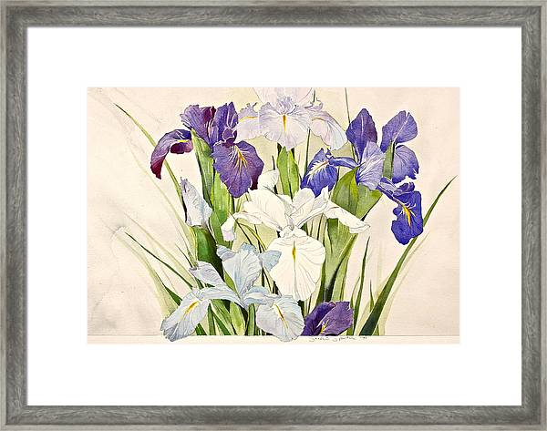Blue Irises-posthumously Presented Paintings Of Sachi Spohn  Framed Print