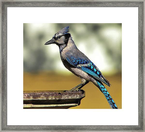 Blue Jay Bath Framed Print
