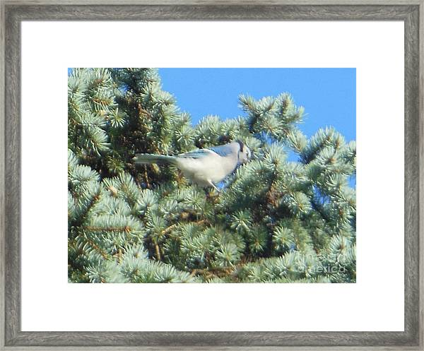 Blue Jay Colorado Spruce Framed Print