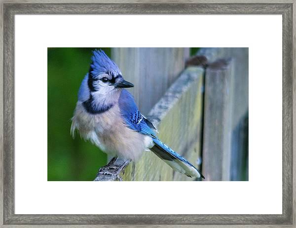 Blue Jay Fluffed Framed Print