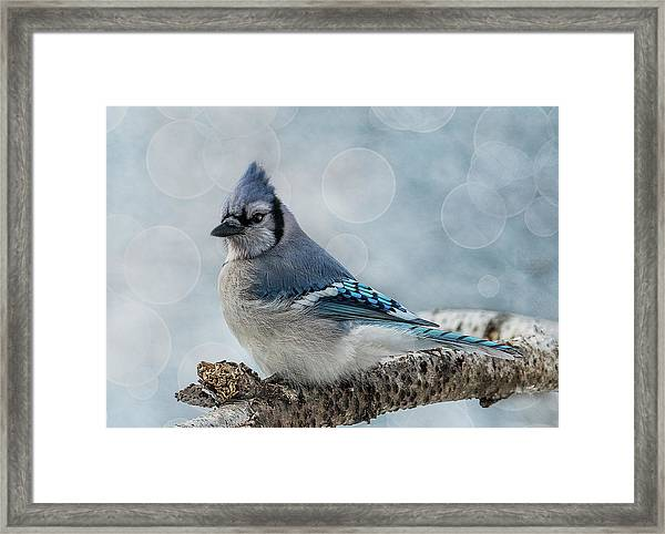 Framed Print featuring the photograph Blue Jay Perch by Patti Deters