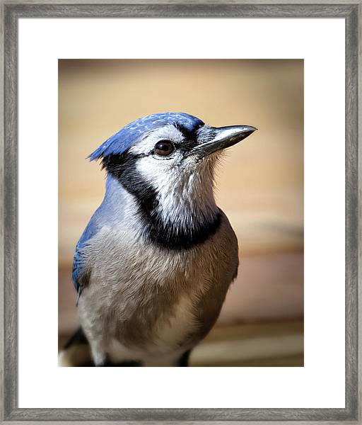 Blue Jay Portrait Framed Print