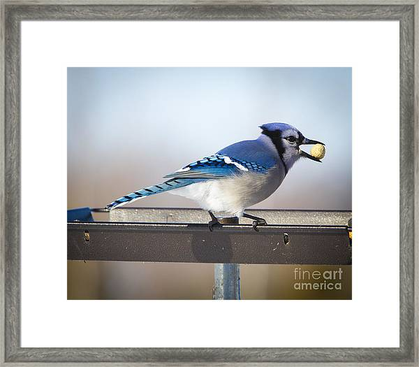 Blue Jay With A Mouth Full Framed Print