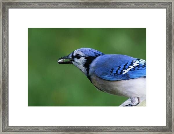Blue Jay With Seed Framed Print