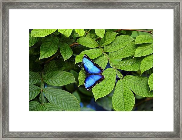 Blue Leaves - Morpho Butterfly Framed Print