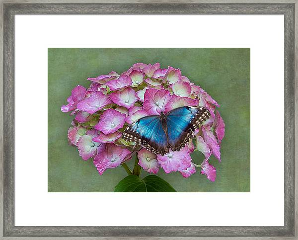 Framed Print featuring the photograph Blue Morpho Butterfly On Pink Hydrangea by Patti Deters