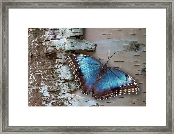 Framed Print featuring the photograph Blue Morpho Butterfly On White Birch Bark by Patti Deters