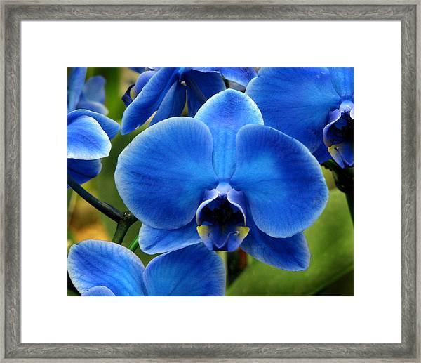 Blue Orchid Framed Print