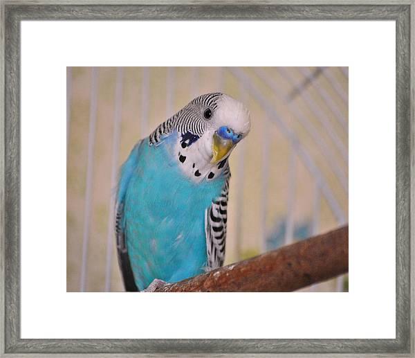 Blue Parakeet Framed Print