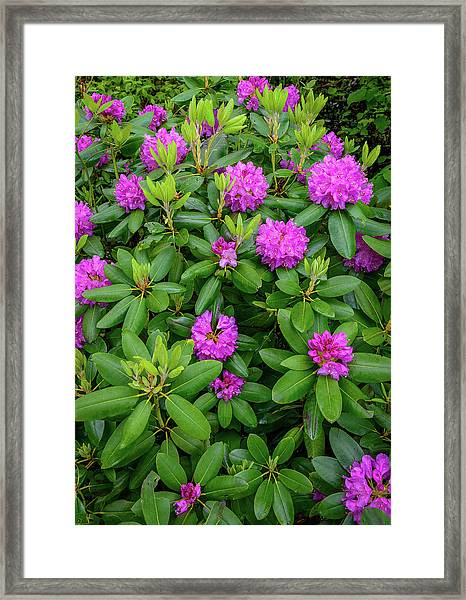 Blue Ridge Mountains Rhododendron Blooming Framed Print