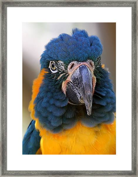 Blue-throated Macaw Close-up Framed Print