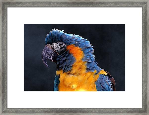 Blue-throated Macaw Profile Framed Print