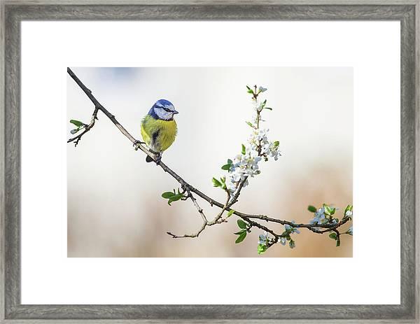 Blue Tit And Blossom Framed Print