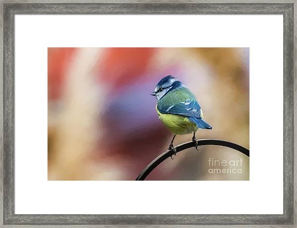 Blue Tit Uk Framed Print