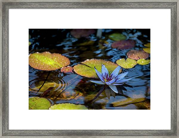 Blue Water Lily Pond Framed Print