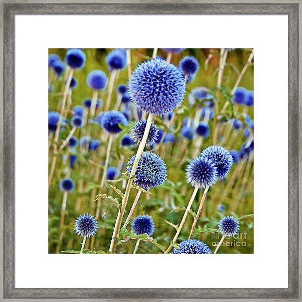 Blue Wild Thistle Framed Print