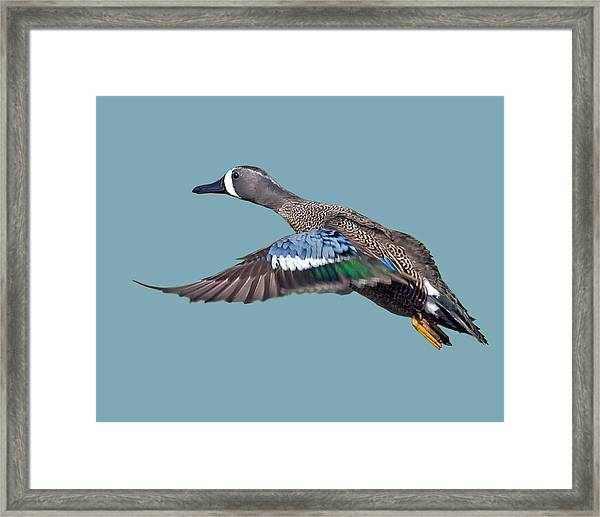 Blue-winged Teal Framed Print
