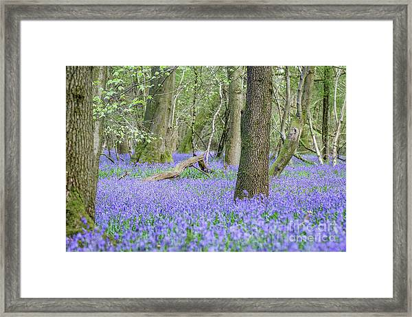 Bluebell Wood - Hyacinthoides Non-scripta - Surrey , England Framed Print