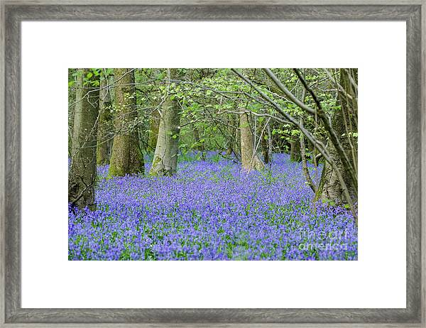 Bluebell Woodland Hyacinthoides Non-scripta, Surrey , England Framed Print