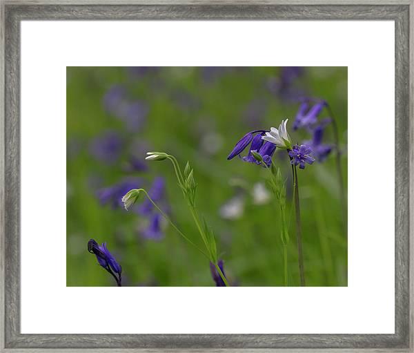 Bluebells And Stitchwort  Framed Print