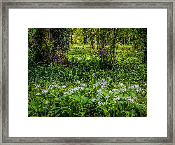 Bluebells And Wild Garlic At Coole Park Framed Print