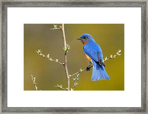 Framed Print featuring the photograph Bluebird Bliss by William Jobes
