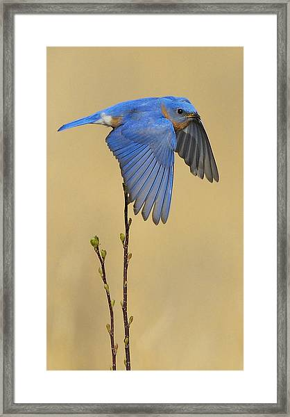 Framed Print featuring the photograph Bluebird Takes Flight by William Jobes