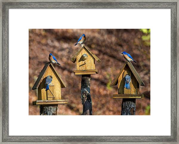 Framed Print featuring the photograph Bluebirds by Claudia Abbott