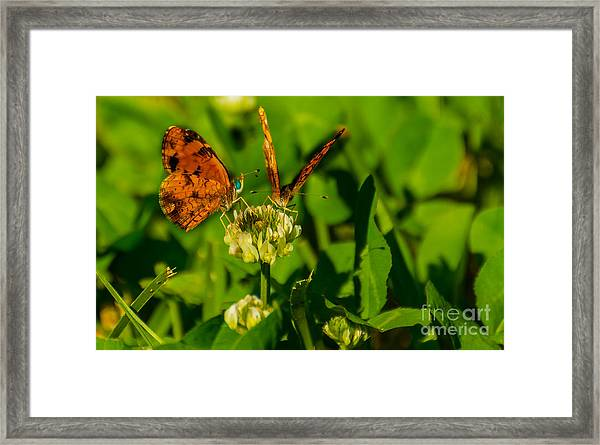 Bluehead Butterfly Framed Print