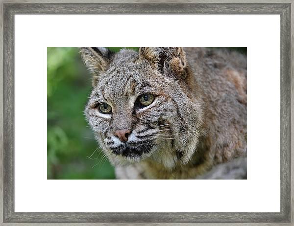 Bobcat In The Trees Framed Print