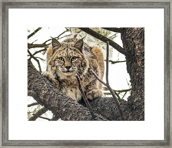Bobcat In Winter Framed Print